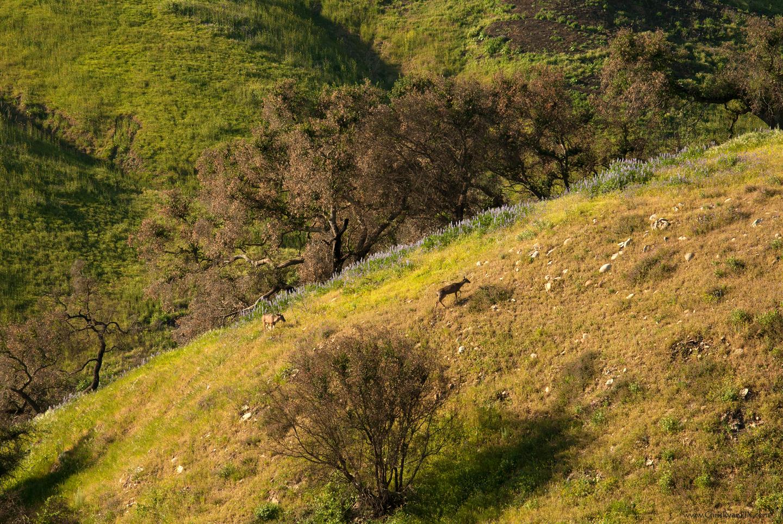 Mule deer rancho ventura two trees
