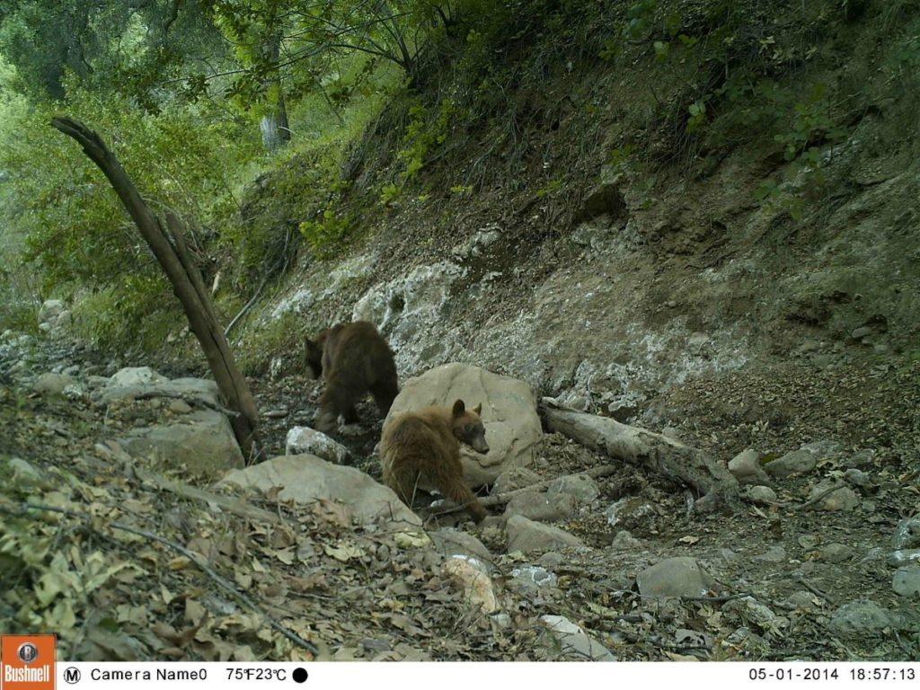 Bear Family Rocks
