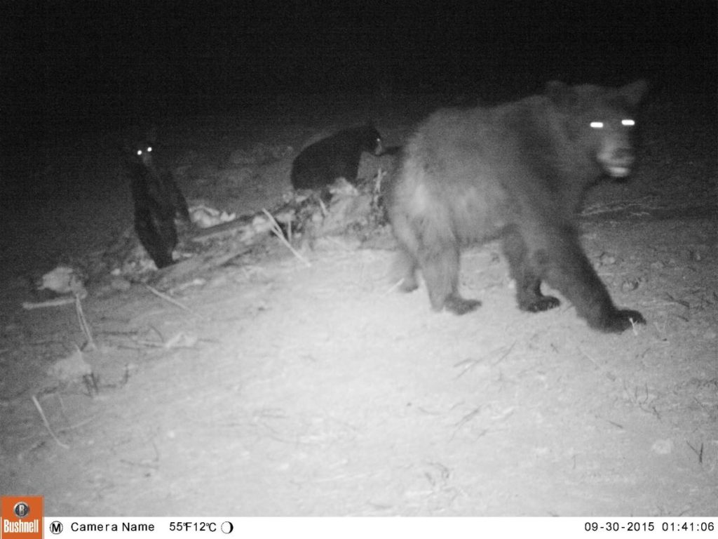 Bear Family Trail Cam Night
