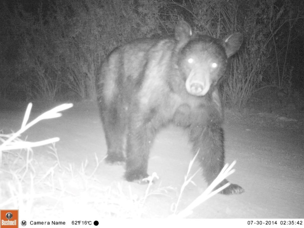 Bear Trail Cam Night