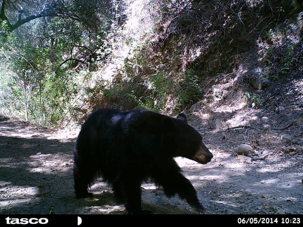 Bear Trail Cam Solo