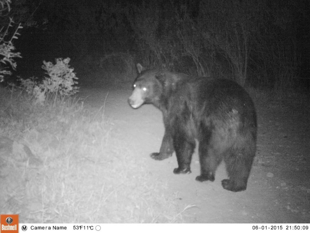 Bear_Trail Cam
