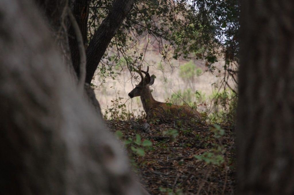 Buck Between Trees
