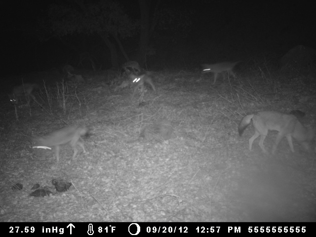 Coyote Pack Night