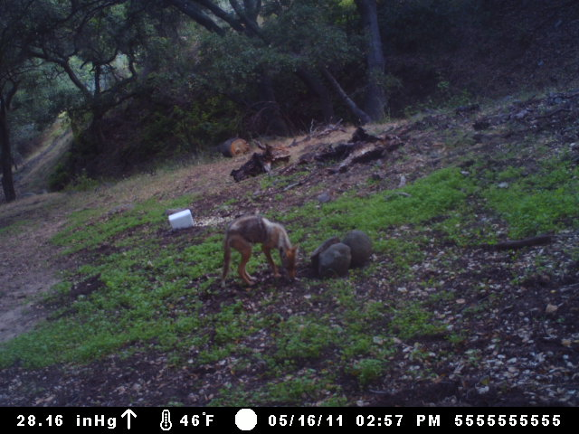 Coyote Snacking