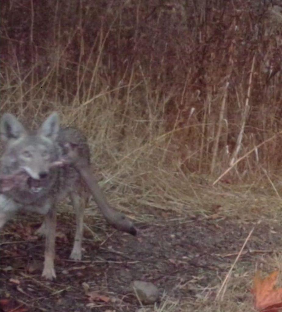 Coyote w Deer Leg