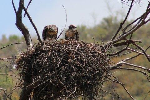 Cyn Hawk Nest