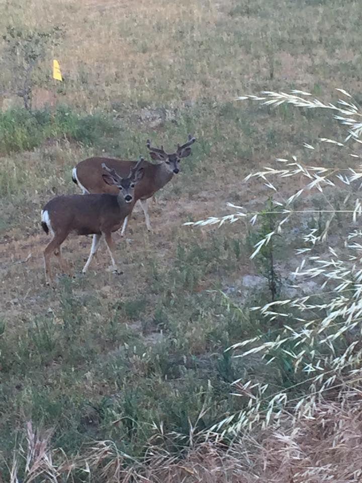 Deer Duo 2
