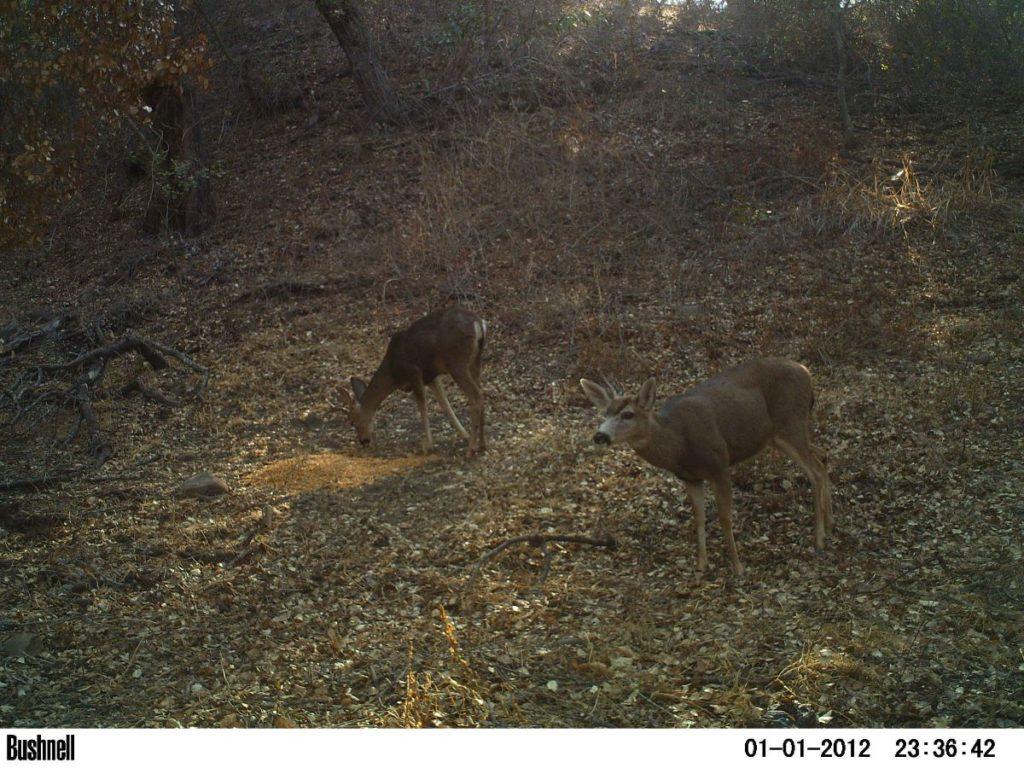 Deer Duo 3