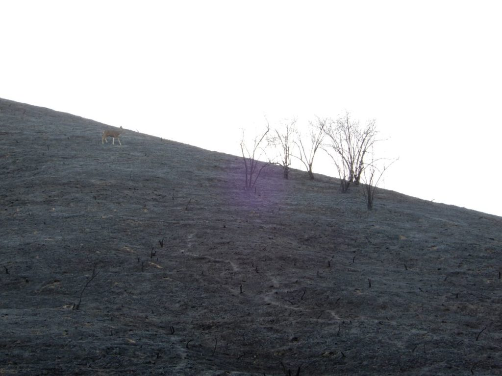 Deer Post-Fire