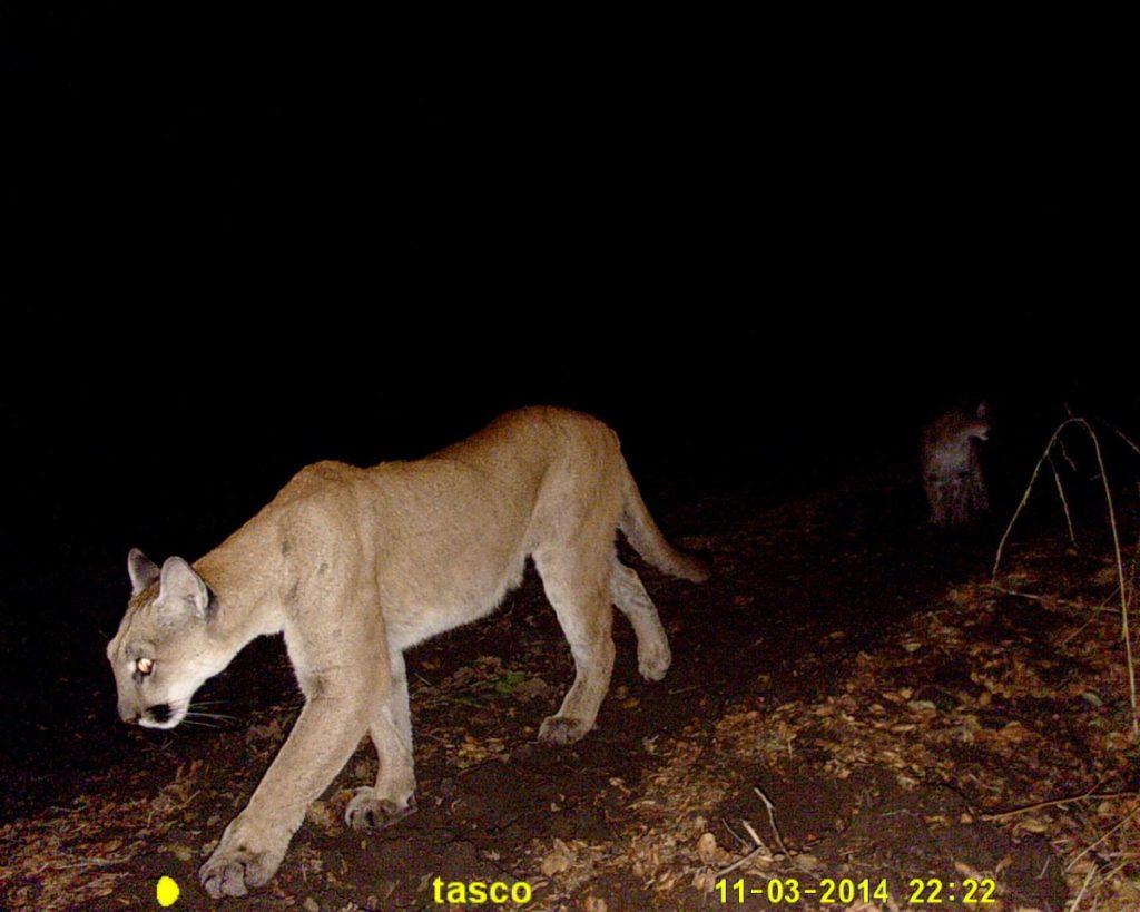 Mountain Lion Night