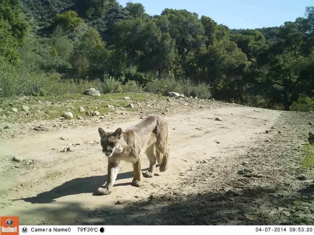 Mountain Lion Trail
