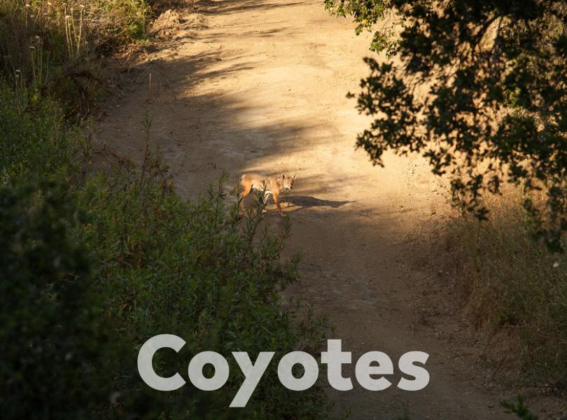 Coyote Album Cover