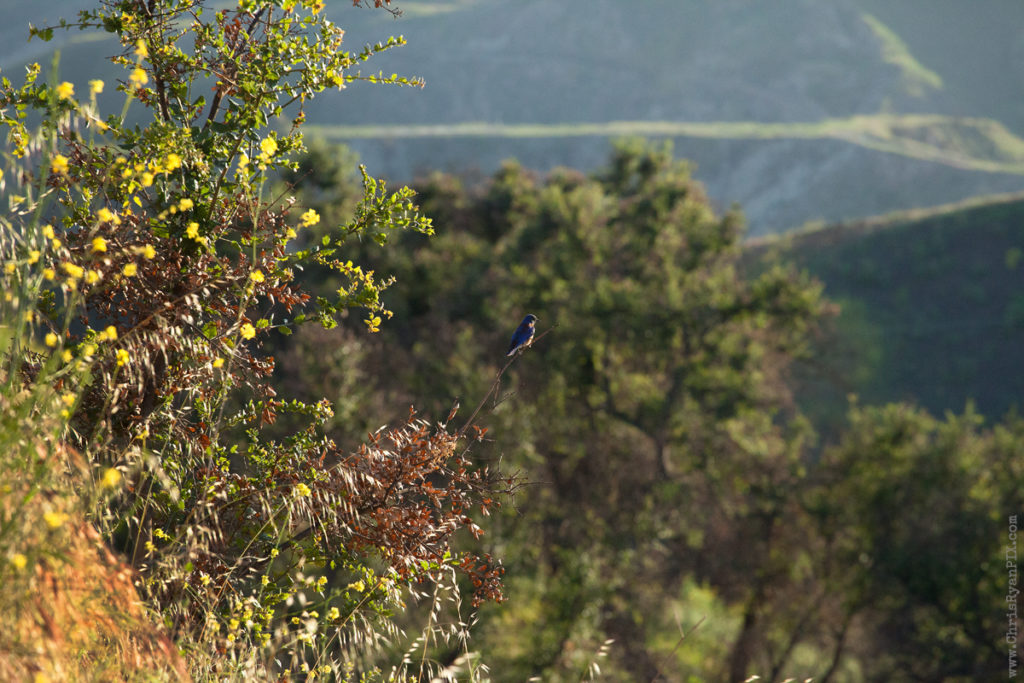 Blue bird sitting on a branch in Ventura Foothills